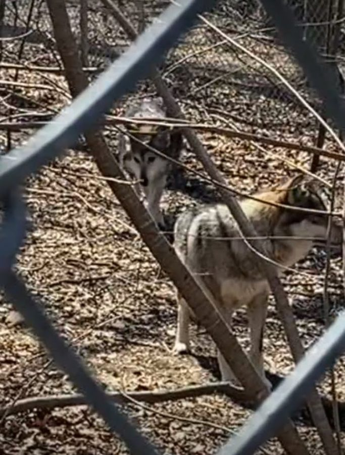 These are two of the Wolf Conservation Center's resident Mexican gray wolves. The center raises and breeds wolves in an effort to preserve their species, and hopes to one day reintroduce these animals to their natural habitat.