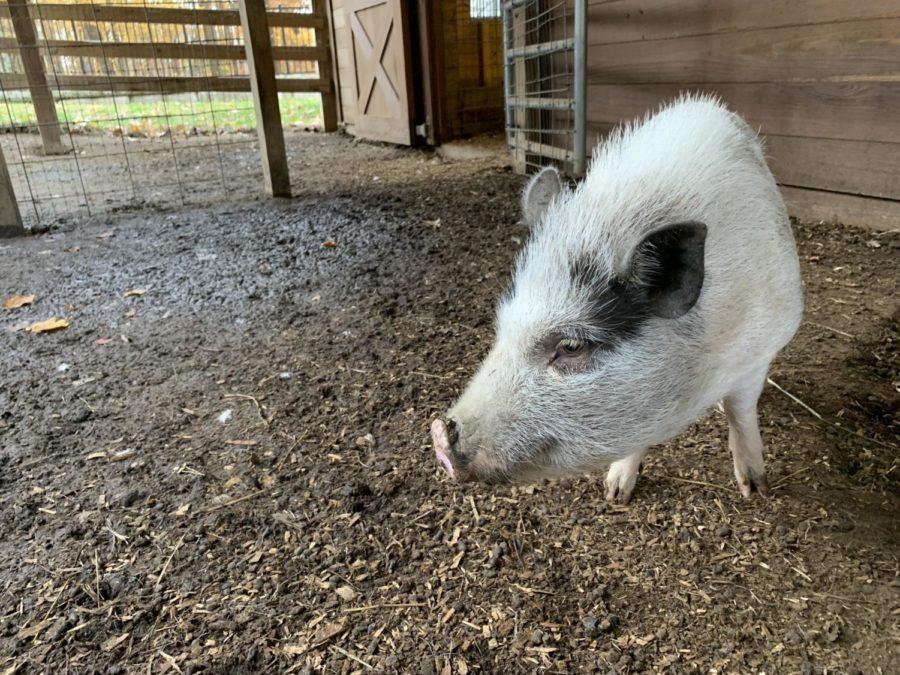 Milo the pig.