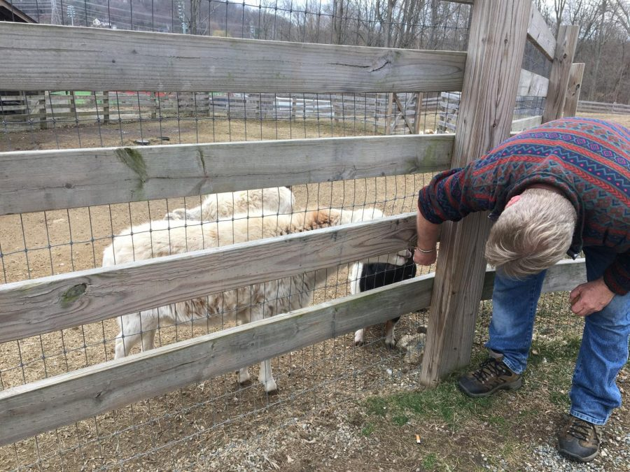 Assistant Director of the Environmental Center Jim Eyring feeds some of the farm's sheep and pigs. Eyring will be one of the center's staff members staying to care for the animals while online classes are in place.